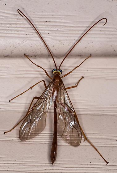 Whatizit ? - Enicospilus - female