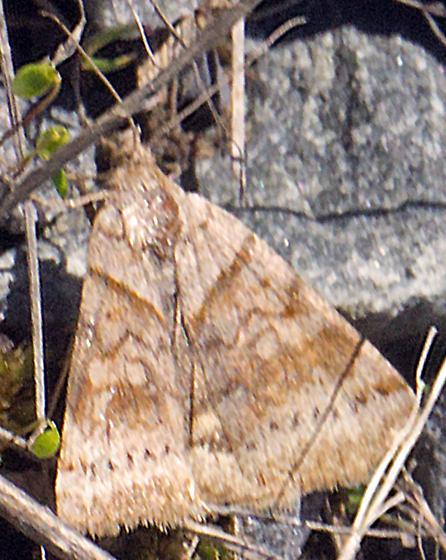 Very Small Moth - Caenurgina crassiuscula