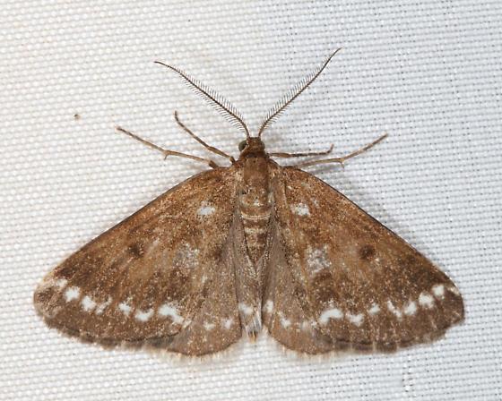 Geometrid - Eufidonia - male