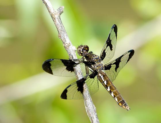 Twelve-spotted Skimmer Female? No - - Plathemis lydia - female