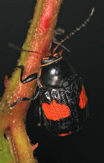 Leaf Beetle - Bassareus? - Bassareus