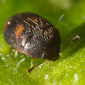 Unknown Beetle - Litargus tetraspilotus