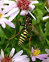 Wasp Visiting Flowers - Polistes dominula - male
