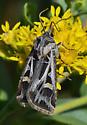 Moth 4203 - Feltia jaculifera