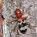 beetle - Thanasimus dubius