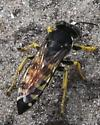 Horse guard wasp (Stictia sp.) - Stictia carolina - female