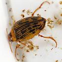 Water Scavenger Beetle  Maybe? - Haliplus