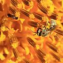 Melissodes - specie? - Lasioglossum - female
