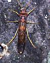 waspy type insect - Tremex columba