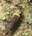 Trichadenotecnum? - Trichadenotecnum alexanderae
