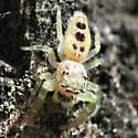 Little Hentzia Jumping Spider - Anterior Dorsal - Hentzia mitrata