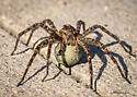 Spider with ? - Dolomedes