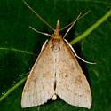 Unknown Moth - Udea