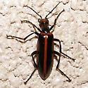 Black Beetle  - Pyrota akhurstiana