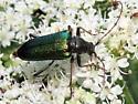 Lepturinae ? - Anthophylax viridis