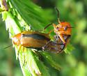 Mating beetles - Anomoea laticlavia - male - female