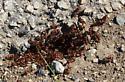 Red harvester ants (Pogonomyrmex barbatus)? - Pogonomyrmex barbatus