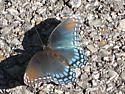 Is this a Red-spotted Purple?  - Limenitis arthemis