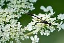 Megischus bicolor? - Gasteruption - female