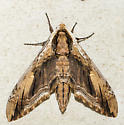 Elm Sphinx Moth - Ceratomia amyntor