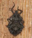 rough stink bug - Brochymena affinis