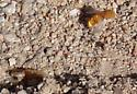 Golden fuzzball emerging - Lordotus - female