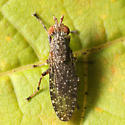 Marsh fly - Dictya pictipes - male