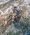 long horn beetle - Rusticoclytus nauticus