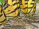 Two-tailed Swallowtail Butterfly (Arizona State Butterfly) - Papilio multicaudata - male