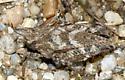 Pygmy Grasshopper - Tetrix ornata - female