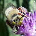 Green-eyed Bee on knapweed - Centris rhodopus