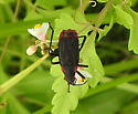 bug - Jadera haematoloma