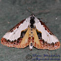 Pearly Wood-nymph - Eudryas unio
