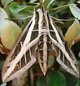 Banded Sphinx Moth? - Eumorpha fasciatus
