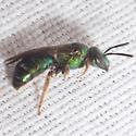 Metallic Sweat Bee - Agapostemon splendens