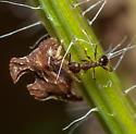 Some sort of Leafhopper ? - Entylia carinata