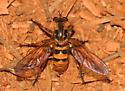 Robber Fly - Callinicus pollenius? - Callinicus