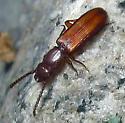 Parasitic Flat Bark Beetle - Catogenus rufus