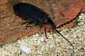 Beetle or Bug? - Lucidota atra