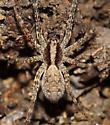 Unknown Lycosidae - Schizocosa