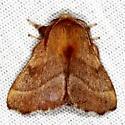 Unknown Moth - Malacosoma disstria