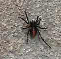 Is this a black widow?
