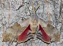 Western Poplar Sphinx ? - Pachysphinx occidentalis