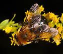 unidentified Apidae