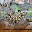 Painted Lady caterpillar to butterfly - Vanessa cardui