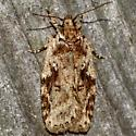 Nites maculatella - female