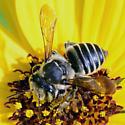 Megachile? - Megachile petulans