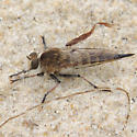 sand fly - female