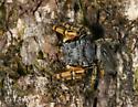 Mystaceus - Phidippus mystaceus - male