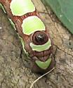 Light green blotched caterpillar - Sphecodina abbottii